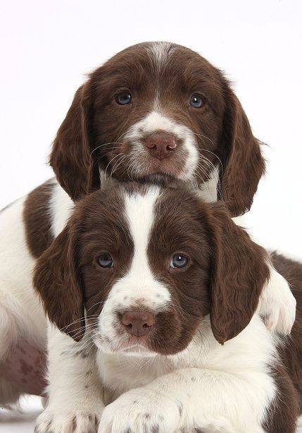 Working English Springer Spaniel puppies, 6 weeks old