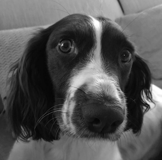 Meet Zola: Cute springer Spaniel that is the FOrtis mascot of the South! She lives with Emily and Bruce and their 2 kiddies and she loves long walks and swims. She also has really cute ears!