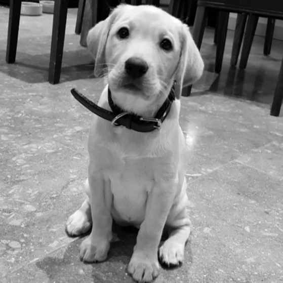 Meet Lola: Cute golden lab pup that is the Fortis mascot of the North! This is Kats baby and she loves her mummy, cheese and cuddles by the fire! You're welcome!